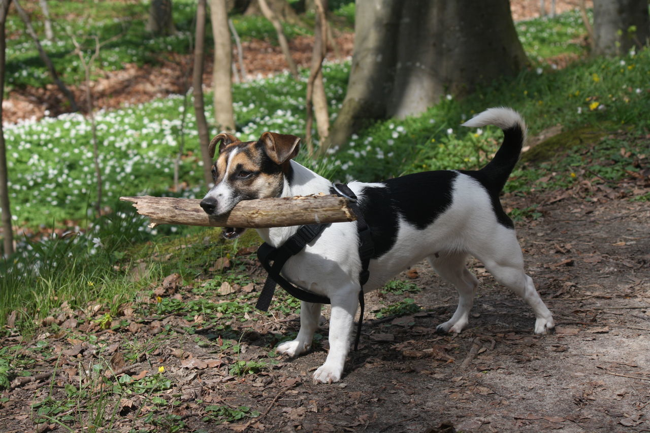 Lilly Jack Russell Dog Forest Stick Fun