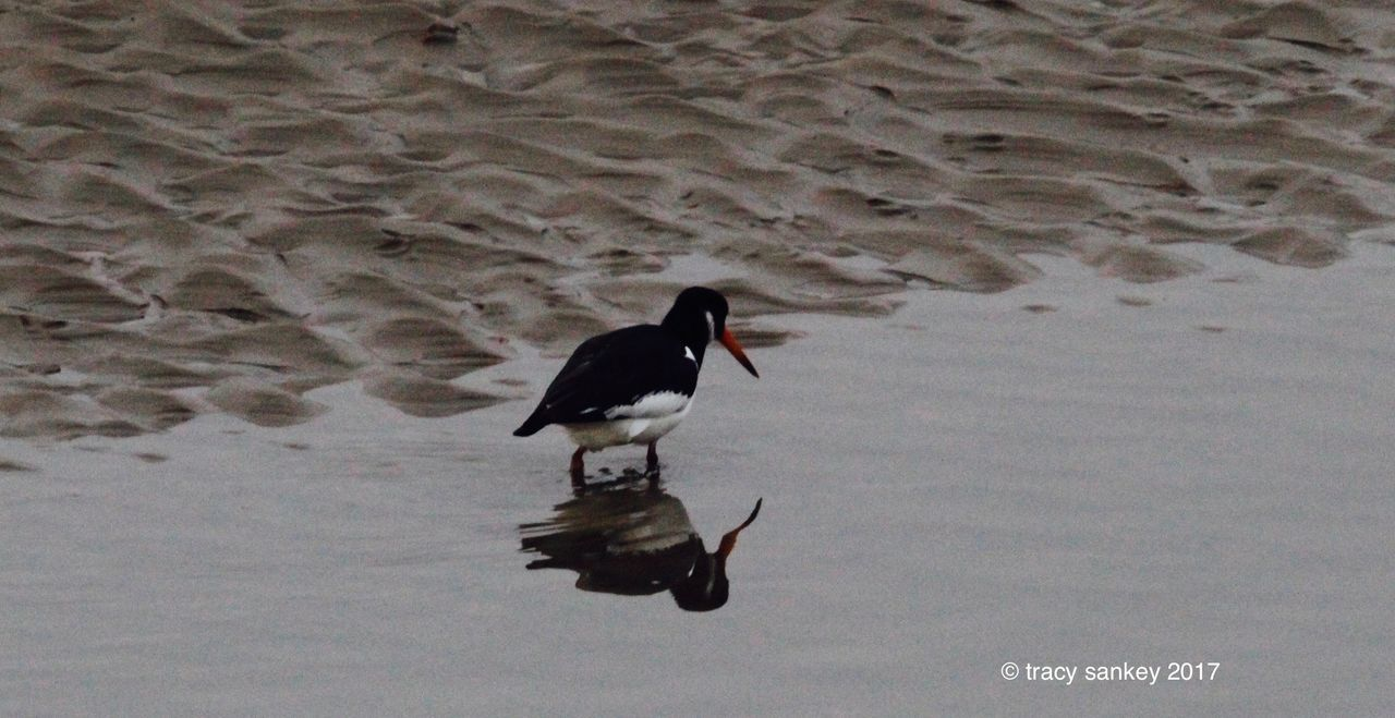 Beach Photography Birds Lone Bird Sand Water Reflections Wildlife Wildlife & Nature Wildlife Photography