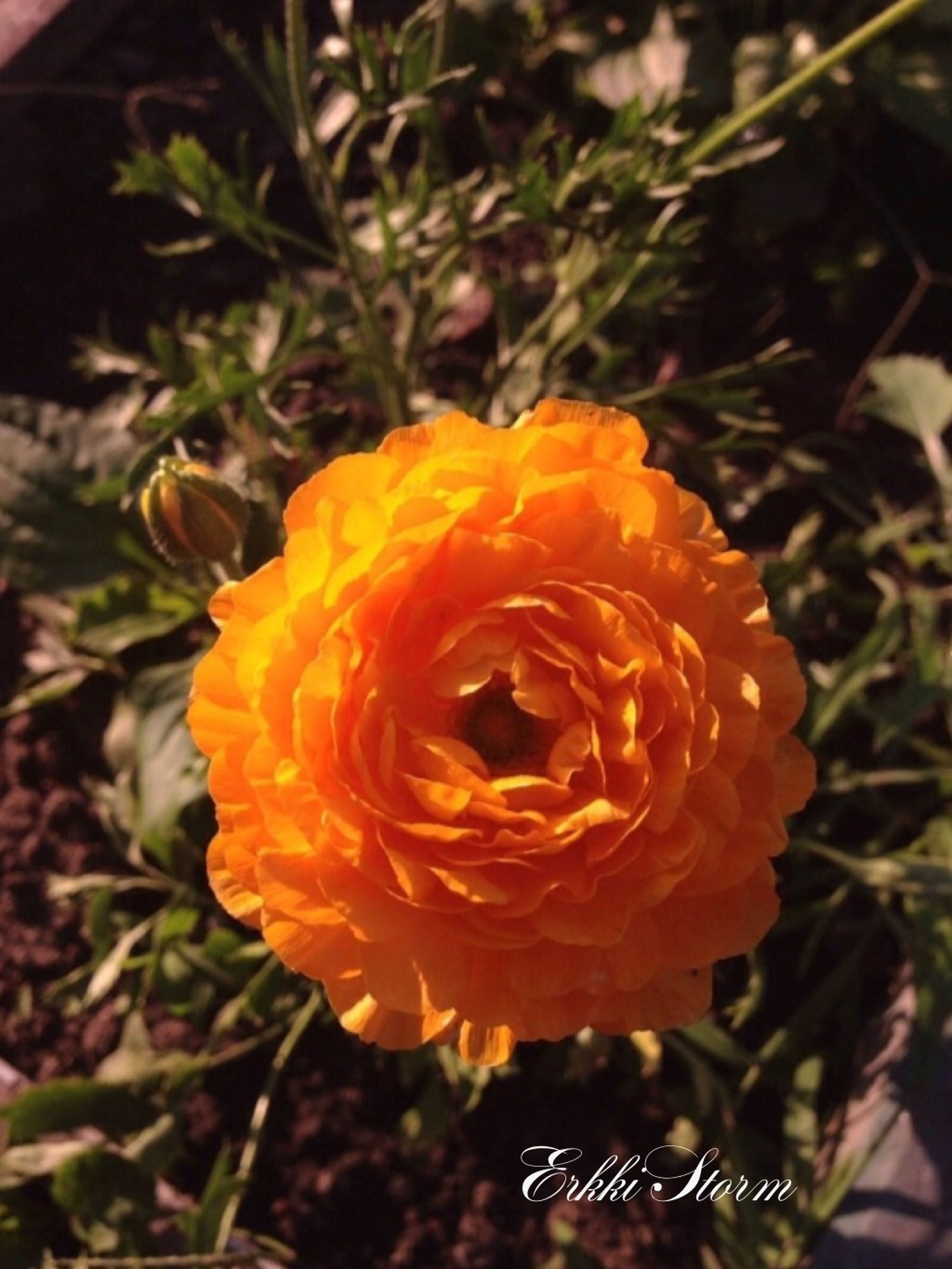 flower, petal, freshness, flower head, fragility, growth, beauty in nature, close-up, plant, blooming, single flower, focus on foreground, orange color, nature, high angle view, yellow, in bloom, no people, outdoors, rose - flower
