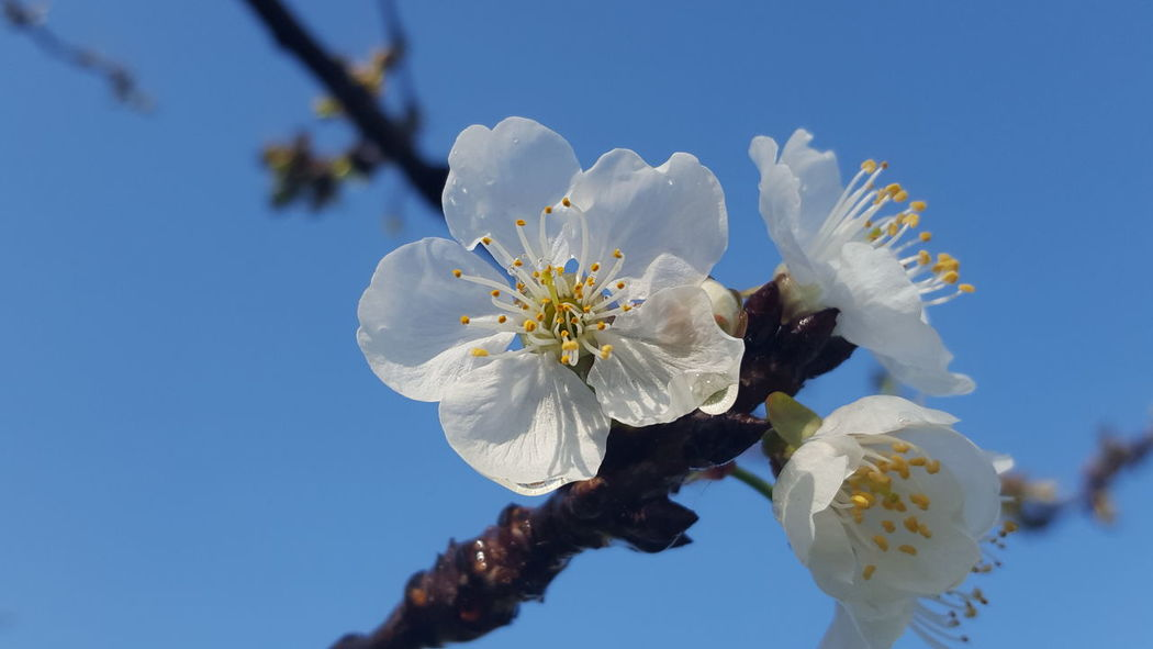 Cherrytree Flower Blossom Flower Head Clear Sky Almond Tree Nature Beauty In Nature Sky Close-up Fragility Outdoors No People Day