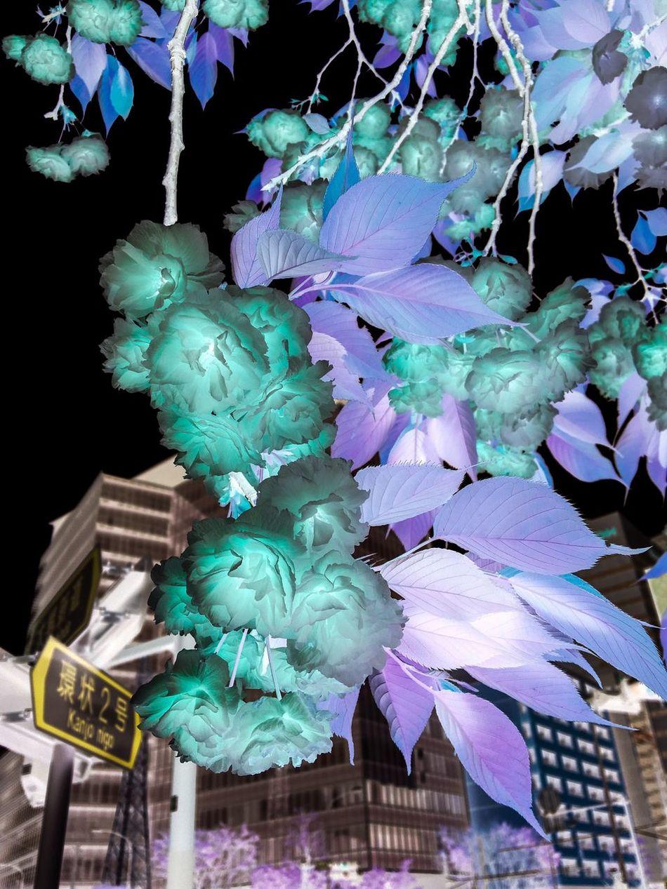 Sakura Night No People Building Exterior Architecture Outdoors Fragility Sky Close-up EyeEmNewHere