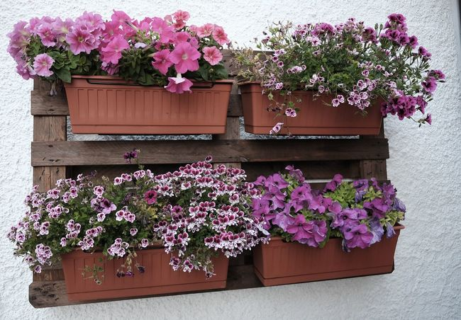 Beauty In Nature Blooming Day Flower Fragility Freshness Growth Nature No People Outdoors Pallet Petunia Pink Color Plant Potted Plant Purple Recycling Wall Window Box