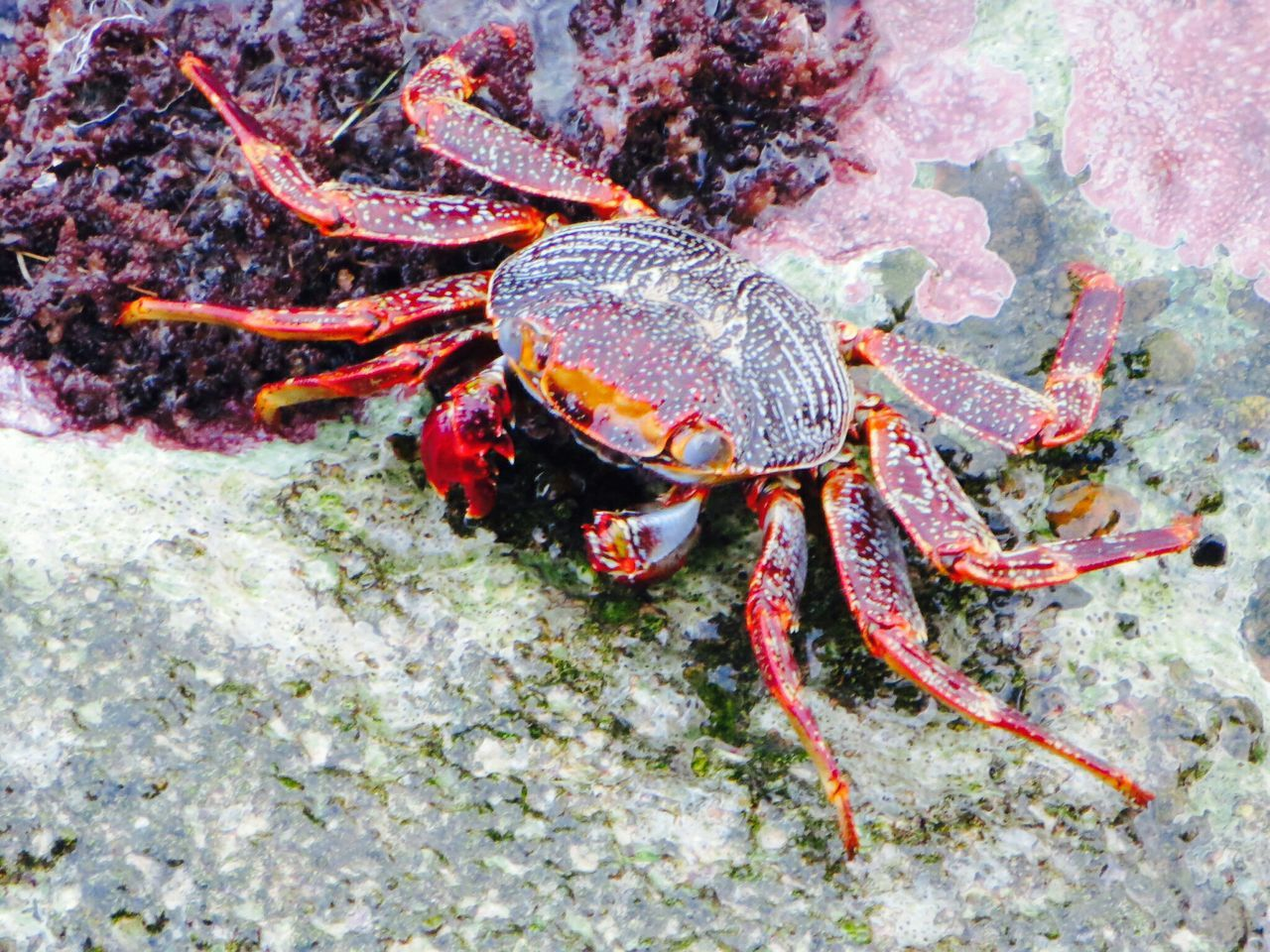 crab, sea life, one animal, underwater, undersea, animal themes, sea, crustacean, hermit crab, no people, nature, animal wildlife, animals in the wild, day, close-up, outdoors