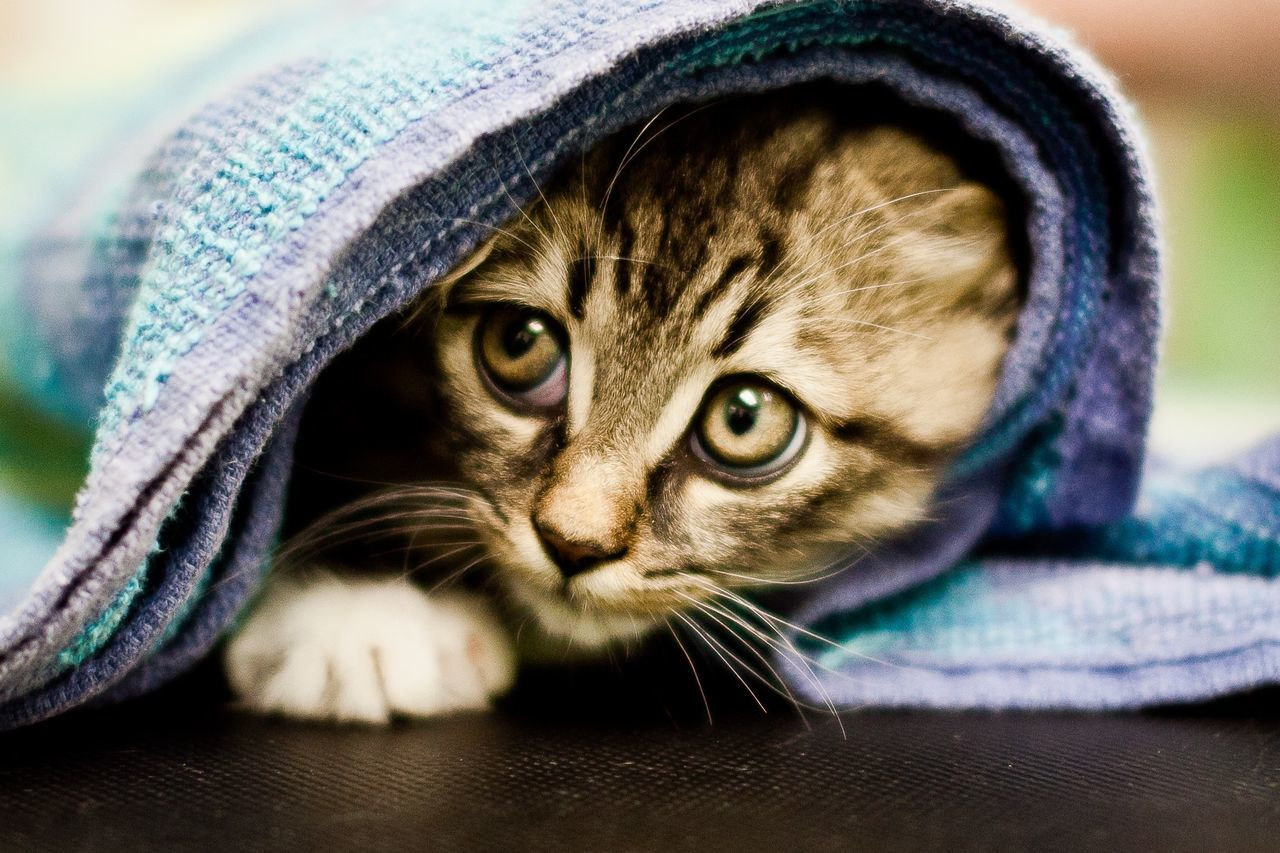 Beautiful stock photos of cat, Animal Head, Animal Themes, Blanket, Cat