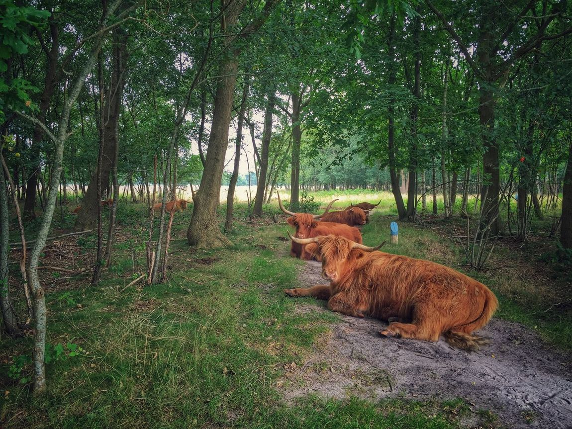 Cows Holland Holiday The EyeEm Facebook Cover Challenge IPhoneography My View Summer2015 EyeEm Nature Lover Walking Around