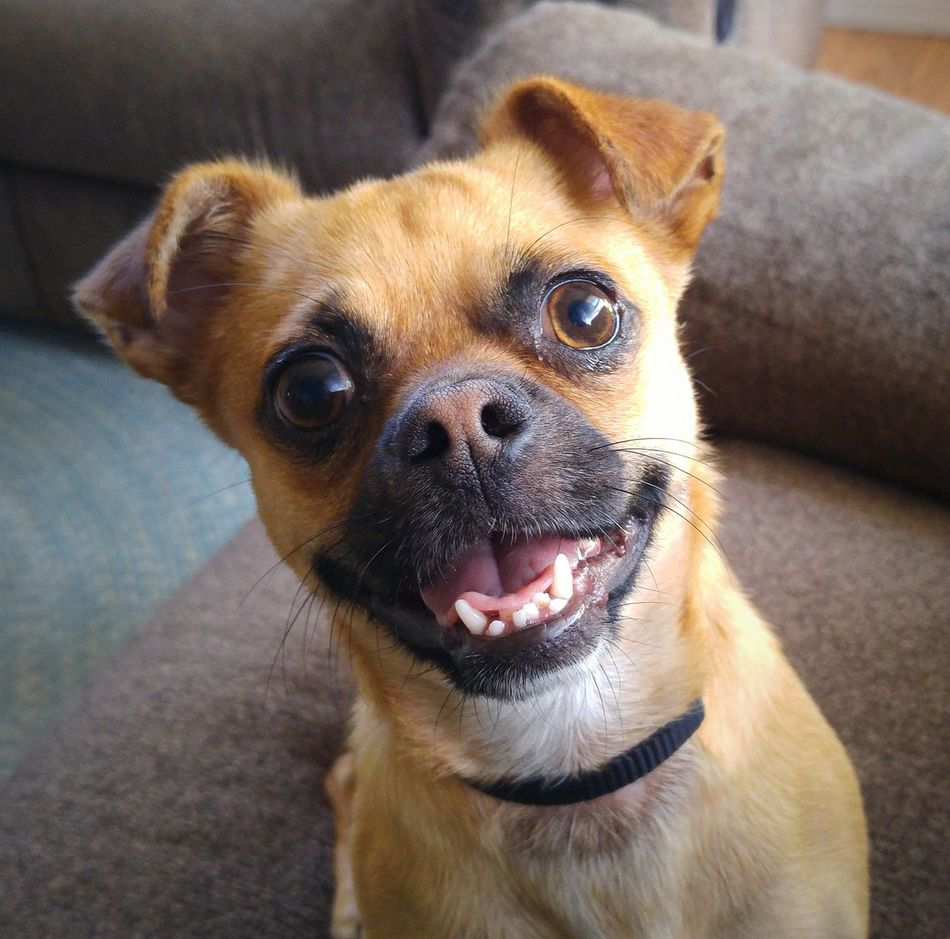 Such a happy boy 🐶❤ Chug Chugs Chihuahuamix Chihuahualovers Puglovers Pug Pugmix Littledoggy Littledoglove Littledog Toybreed Toydog Tinydog Dog Dog Love Dogs Canine Pets Pets Corner Petslife Happy Animal Photography Animals Animallovers