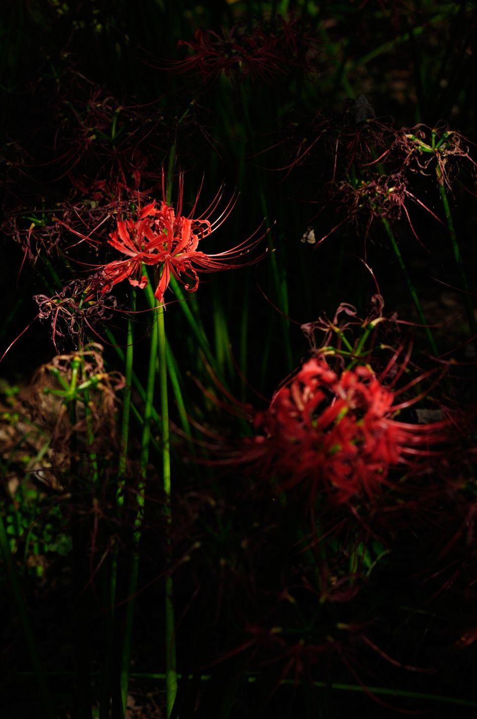 Redspiderlily Cluster Amaryllis Spotlight Stage 曼珠沙華 彼岸花 スポットライト 名脇役