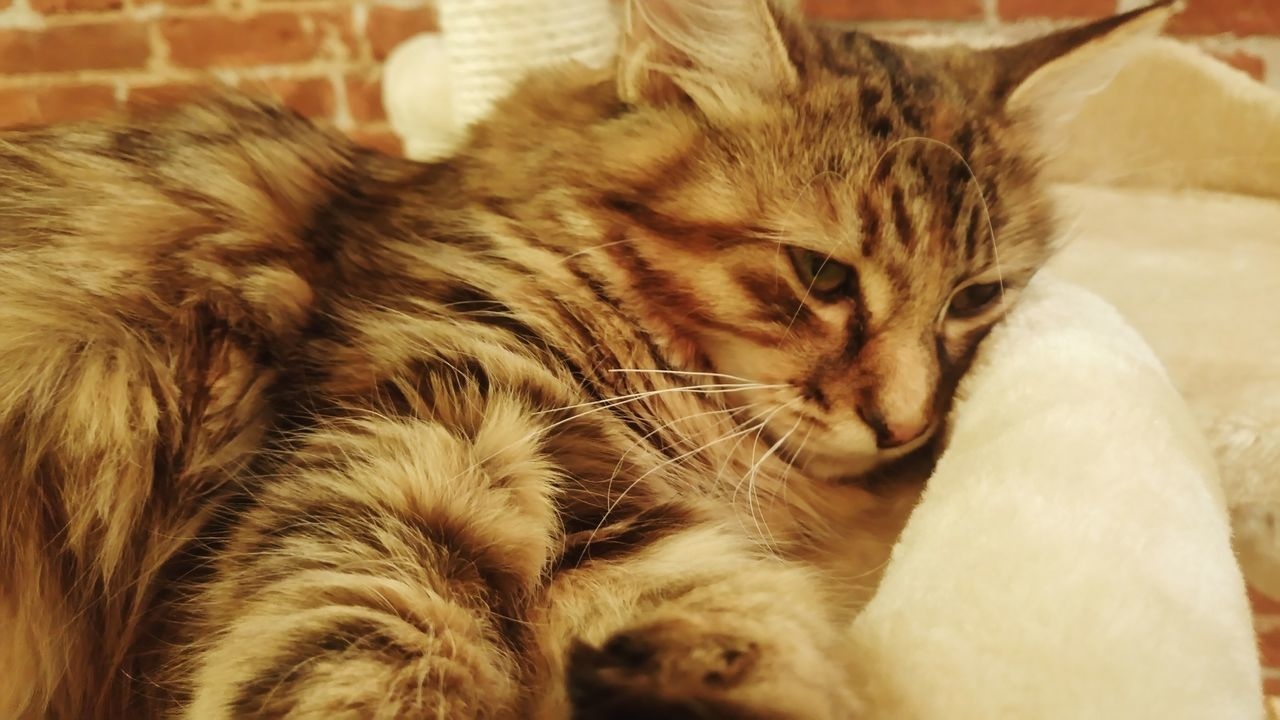 domestic cat, indoors, pets, animal themes, domestic animals, mammal, feline, one animal, no people, close-up, day