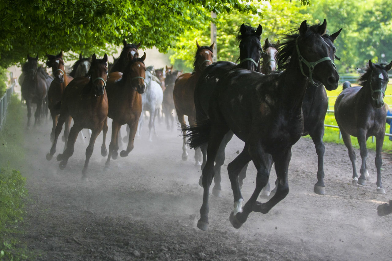 domestic animals, horse, animal themes, mammal, running, livestock, horse racing, speed, field, outdoors, large group of animals, jockey, nature, sports race, horseback riding, day, competition, tree, sports track