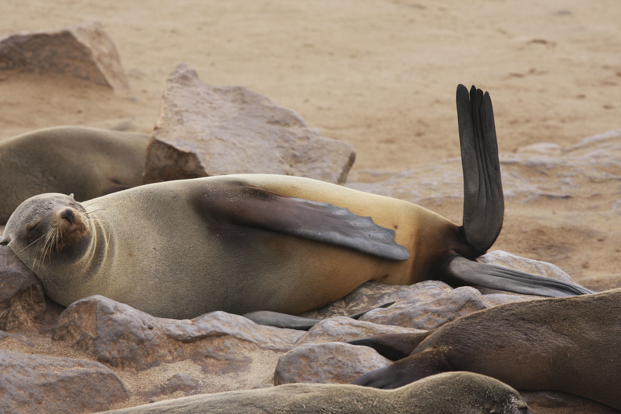 Cape Fur Seals Relaxing On Beach