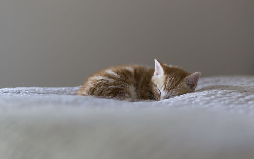 Animal Themes Close-up Day Domestic Animals Domestic Cat Feline Indoors  Lying Down Mammal No People One Animal Persian Cat  Pets Relaxation Selective Focus Sleeping
