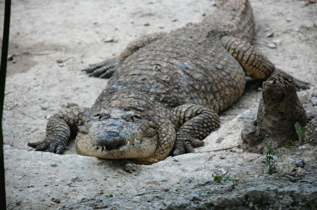 Reptile Cocodrilo Animals Africam Safari Nature Photography