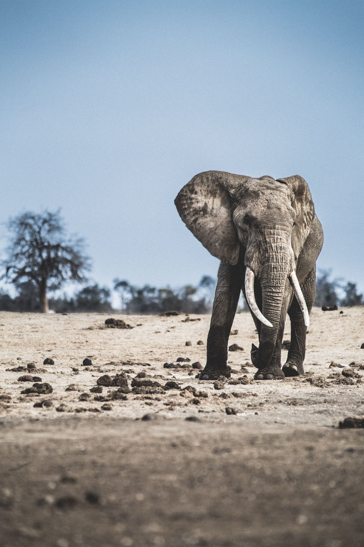 The Vigil and the Tree African Elephant Animal Wildlife Animals In The Wild Day Elephant Full Length Ken Kenya Mammal Nature No People One Animal Outdoors Sand Sky Standing Tree TSA Tsavo EyeEmNewHere Fresh On Market 2017