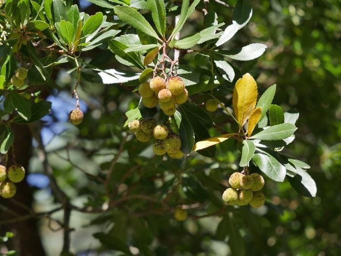 Arbutus Erdbeerbaum Heidekrautgewächs Portugal Beauty In Nature Day Nature No People Outdoors Plant Tree