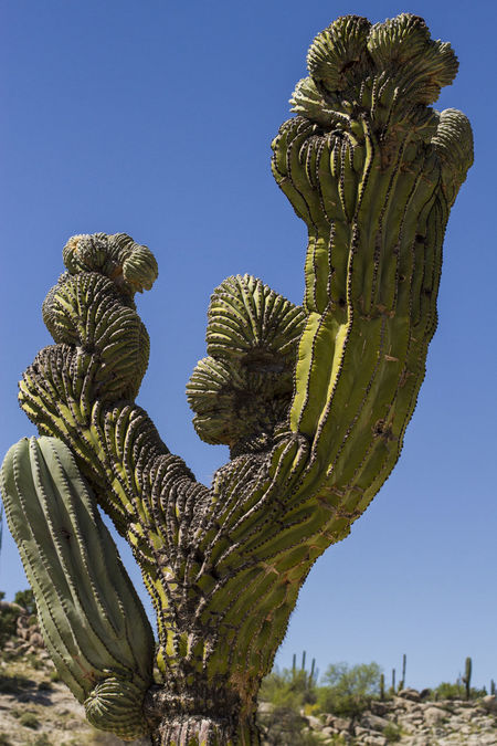The Alien Arid Climate Beauty In Nature Cactus Cactus Clear Sky Close-up Day Desert Growth Low Angle View Nature No People Outdoors Scenics Sentinel Sky Tree