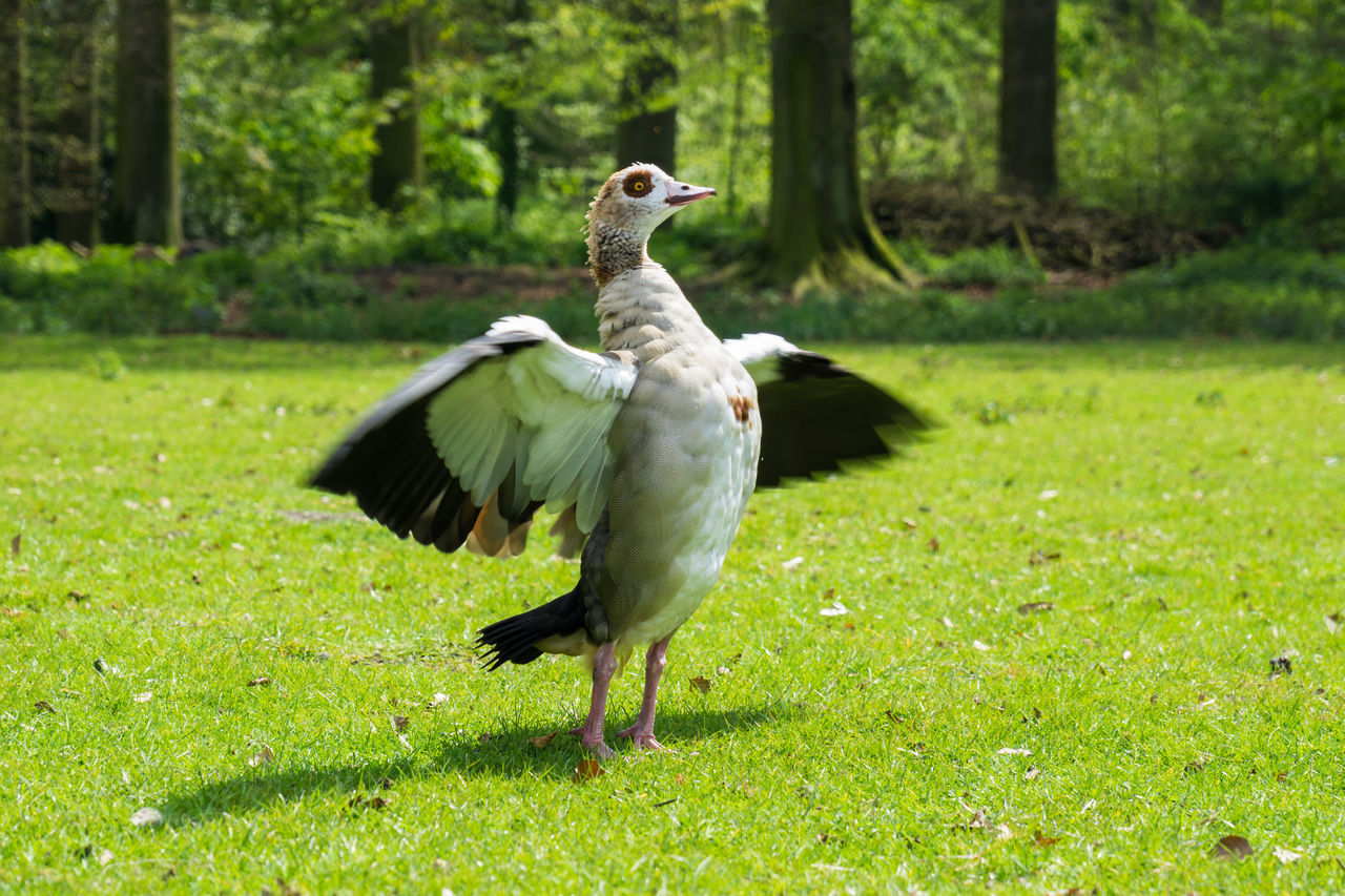 Egyptian Goose (Alopochen aegyptiaca) with outspread wings. Reminds me a bit of Batman...😁 Animals Animals In The Wild Bird Bird Photography Birds Close-up Egyptian Goose Field Geese Goose Green Meadow Nature Outdoors Spread Wings Spring Wild Wildlife Wings
