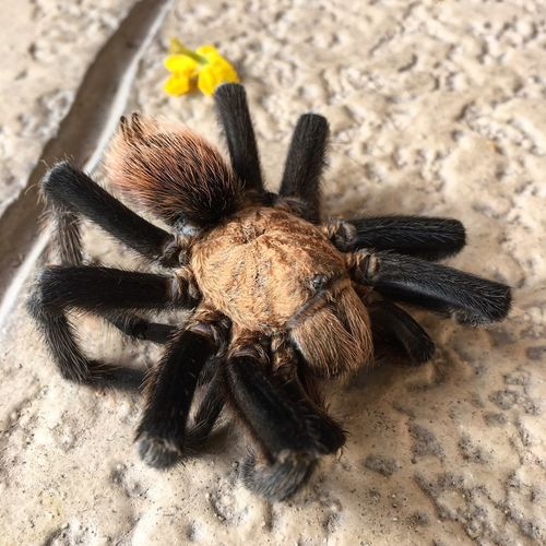 It's a Tucson thing Tarantula Desert Circleoflife Poorguy Animals In The Wild