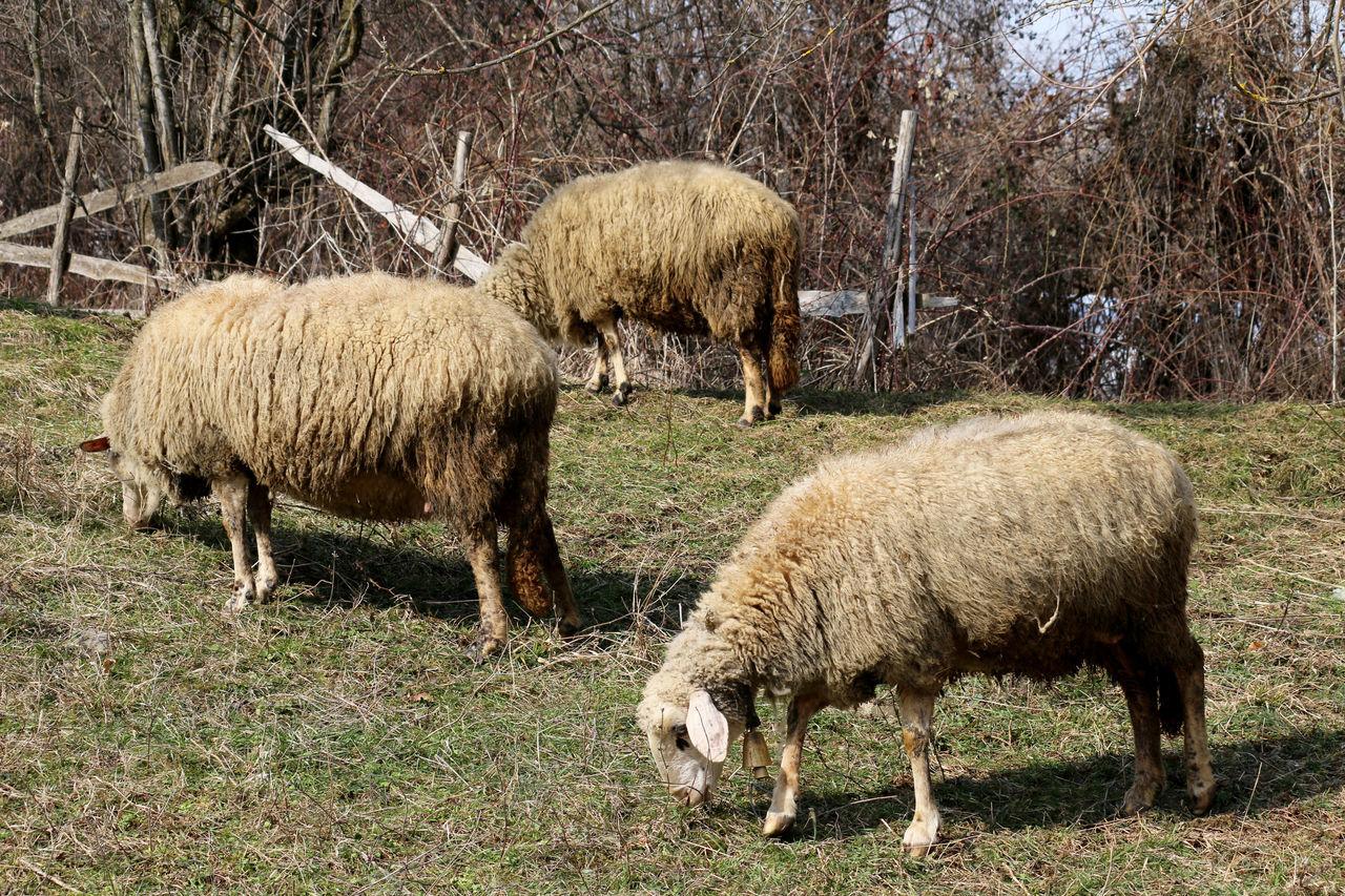 Animal ANIMAL BELLO Animal Themes Bell Day Field Herd Herd Animal Herd Sheep Mammal Milk Nature No People Outdoors Sheep Sheep Farm Sheeps Sheepworld Sheep🐑