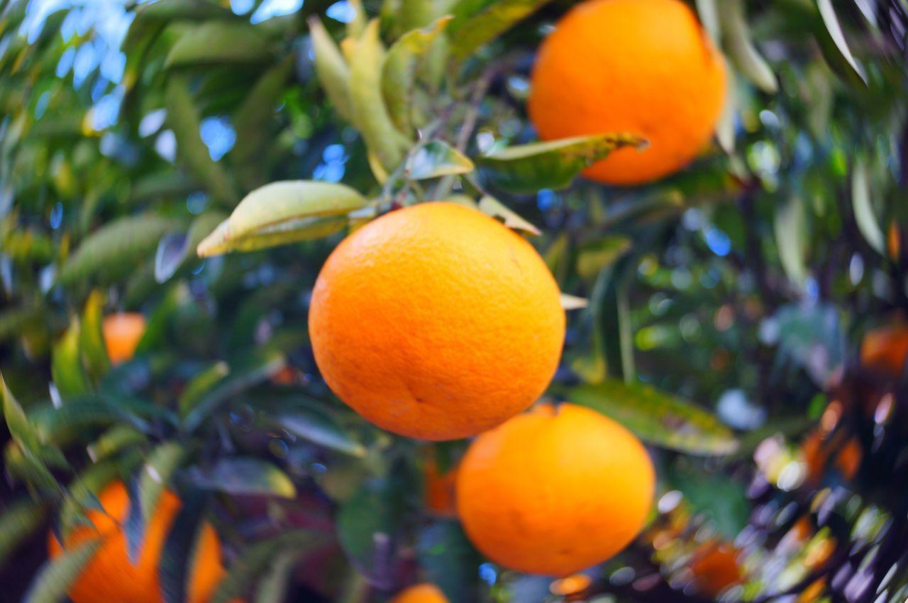 ナツミカン Fruit Orange - Fruit Orange Tree Orange Color Close-up Plant Beauty In Nature No People EyeEm Nature Lover 植物 EyeEm Best Shots Relaxing Nature Enjoying Life みかん 柑橘 Citrus  Citrus Fruit