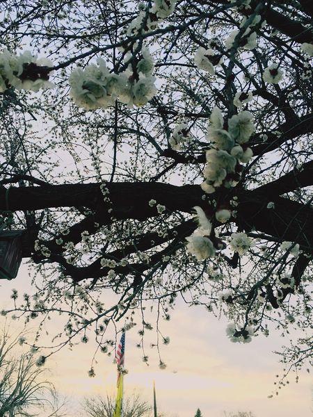 Urban Spring Fever apricot bloom
