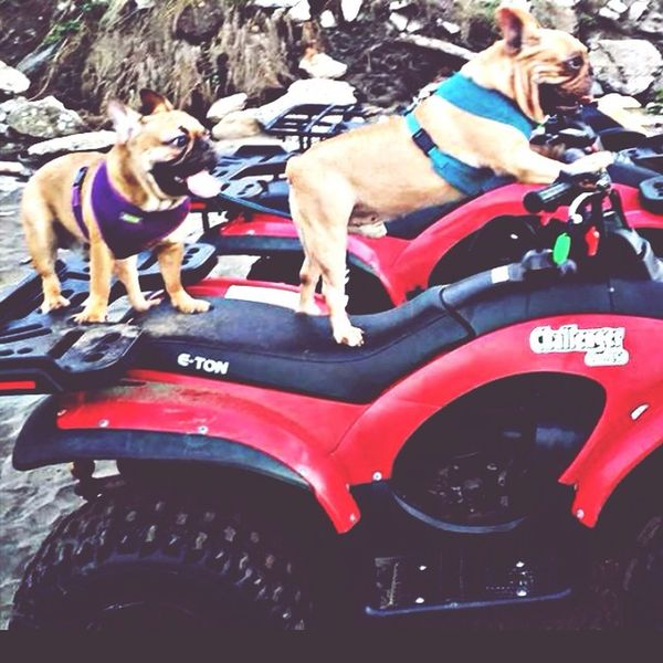 Buddy lets go for a ride!! (Thunder on the left with Ched) Frenchbulldog Pets French Bulldog My French Bulldog <3 Mydog♡ I Love My Dog
