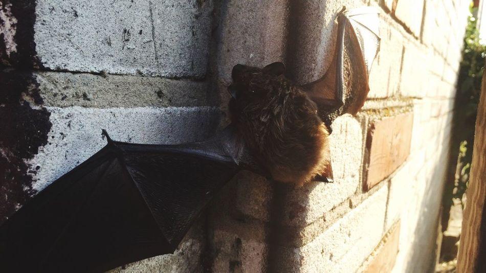 Bat Batman Bat Photography Animal Check This Out Poland EyeEm Poland Hello World Wildlife & Nature