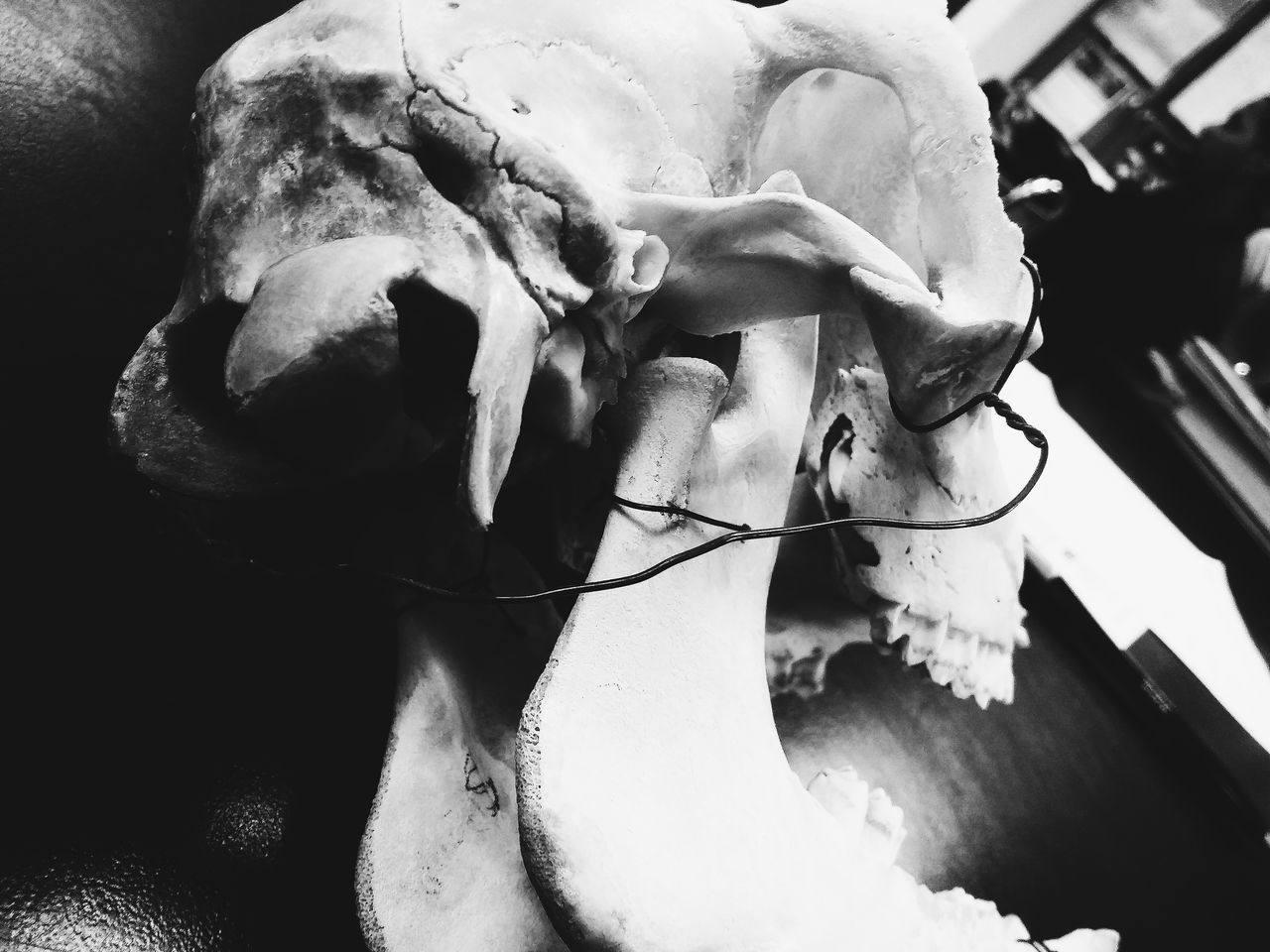 Q is for Queer Jaw Showcase March Science Lab Black And White Forensic Anthropology Forensic Science Lab Cow Skull Skull Bones The Lovely Bones VSCO Simple Photography Mystery Eerie Beautiful Looking Behind Telling Stories Differently Nature's Diversities Fine Art Photography