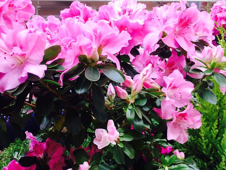 Flower Nature Petal Freshness Fragility Beauty In Nature Growth Pink Color Flower Head Plant Blooming Close-up No People Outdoors Day Rhododendron Pink Pink Flower Millennial Pink