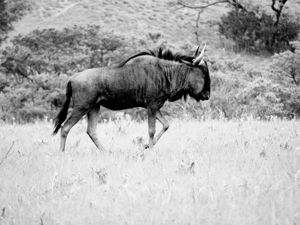 🎵 Walk This Way 🎵~ Long Grass Blackandwhite Blackandwhite Photography Dominant Herd Hooves Long Legs Safari Animals Wildebeest South Africa Beauty In Nature Dangerous Animals In The Wild Veld Protectedspecies Horns One Animal Animal Wildlife Animal Themes Mammal Nature Outdoors