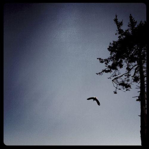 #freedom #eagle #nature_selection #northwest #nature_collection #EyeEmNaturelover #nature