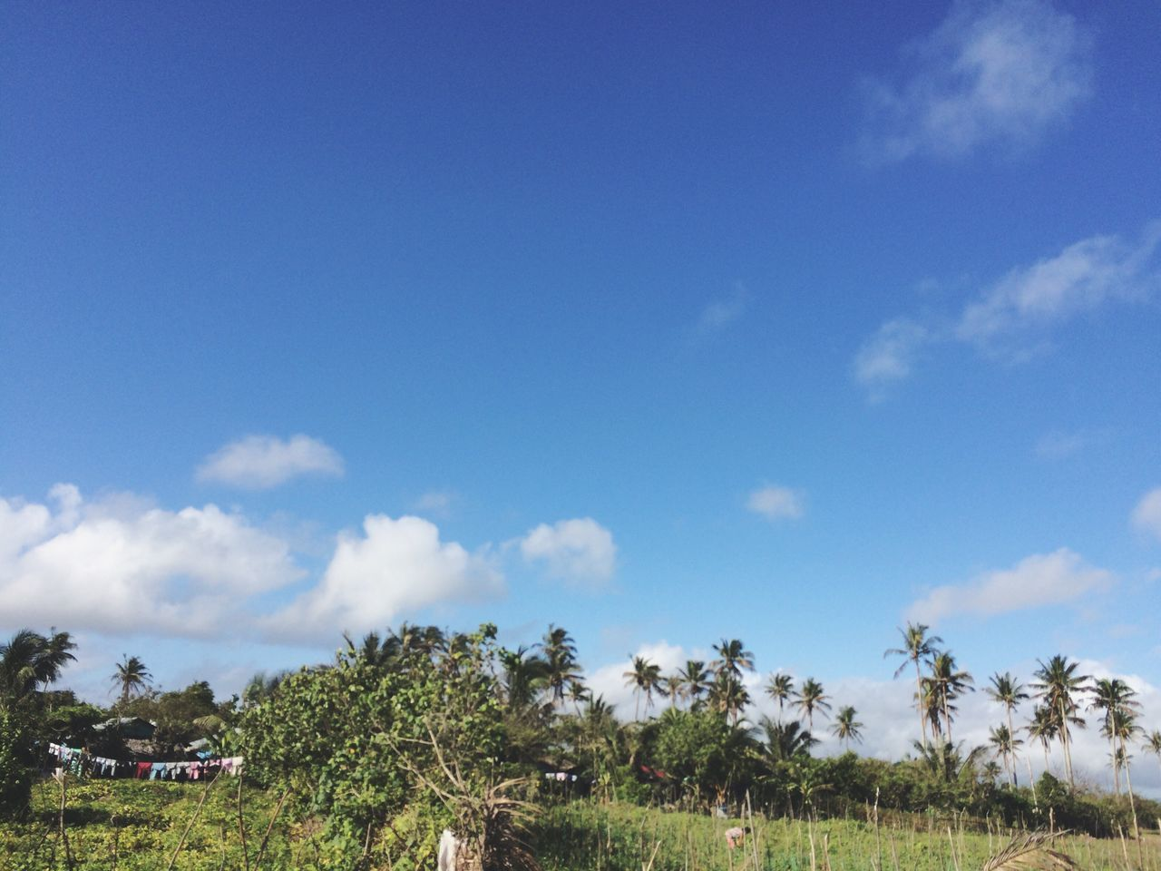 sky, tree, blue, nature, palm tree, day, beauty in nature, scenics, tranquility, outdoors, cloud - sky, growth, no people