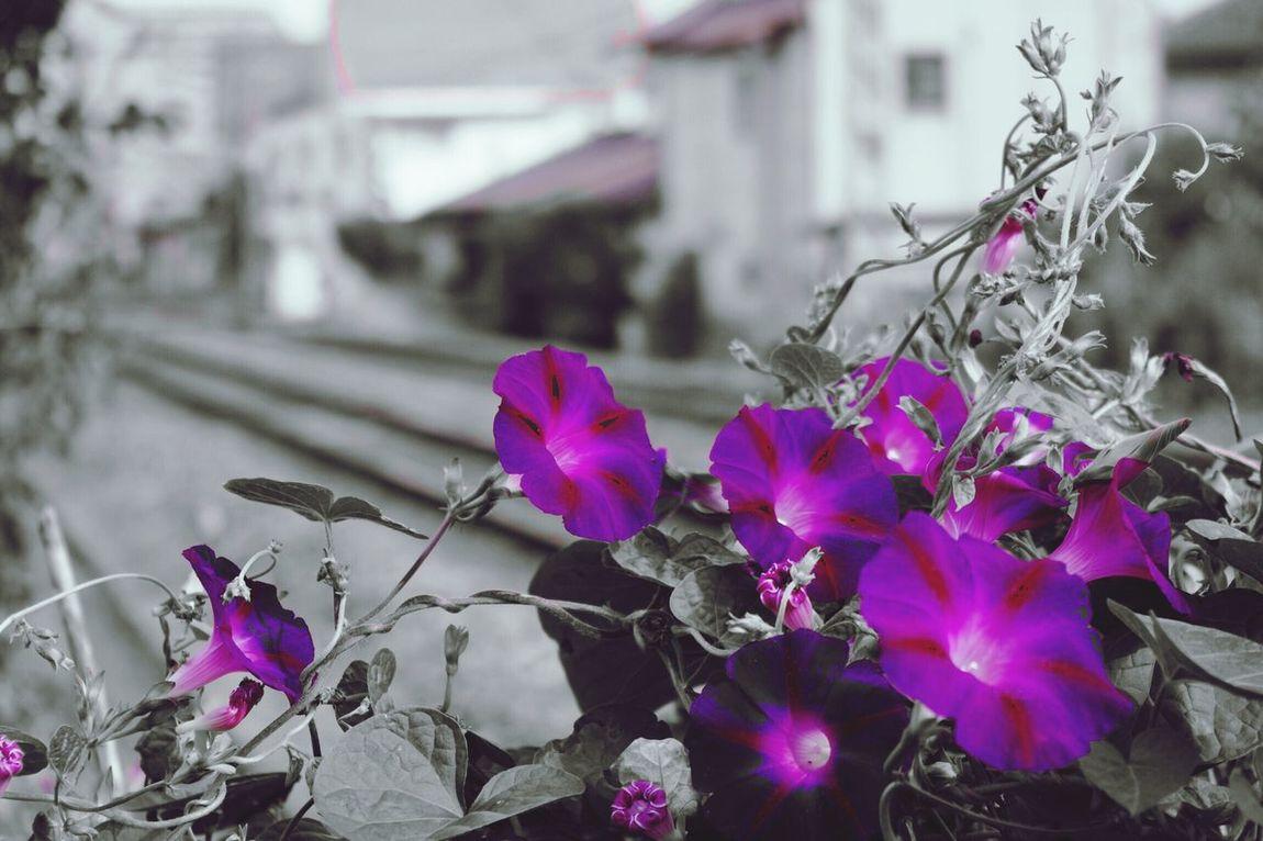 Flowers Purple Asagao Morning Glory Japan