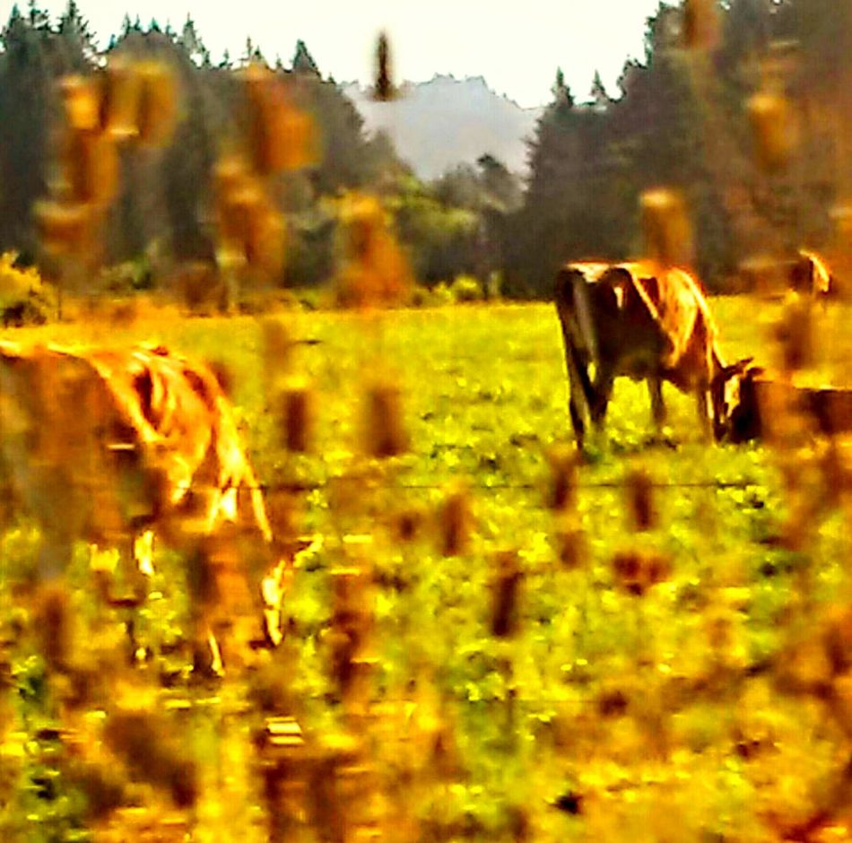 Mountains In The Distance Country Photography Early In The Morning Cows In The Feilds Relaxing Cows Grazing Pivitol Ideas Moo Cow Got Milk?  They Do In The Fields Enjoying Life Animals Hello World Cheese! Beef Its Whats For Dinner Sustenance Pretty Backround Have A Nice Day♥ Sustainability Check This Out Colour Of Life Color Palette Life