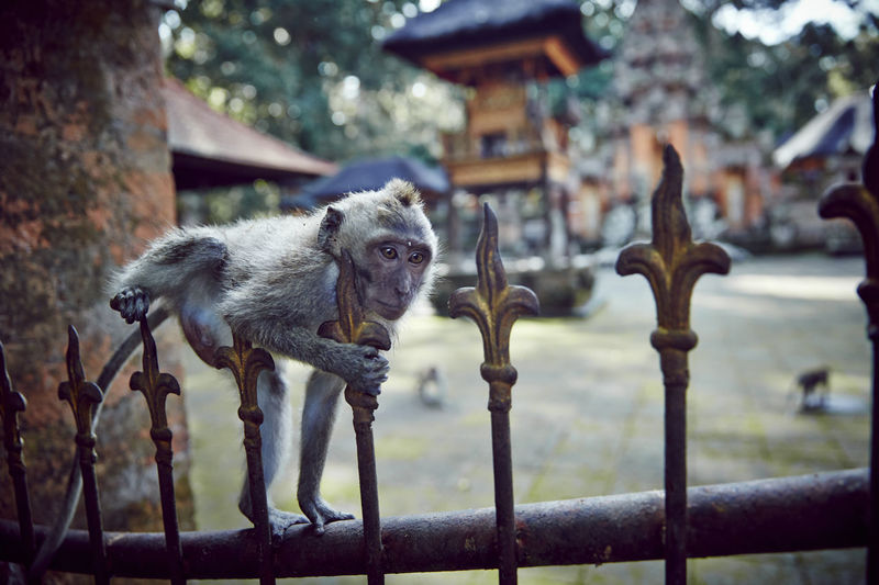Monkey Forest - Ubud, Bali, Indonesia. Bali Bali, Indonesia Monkeys Temples Temples And Shrines Ubud, Bali Animal Animal Photography Animal Themes Animals Animals In The Wild Balinese Culture Baliphotography Monkey Monkey Forest Monkey Forest Ubud Monkey Forest Bali No People One Animal Temple Temple - Building Ubud Ubud Bali Ubud Nature Ubud Temple