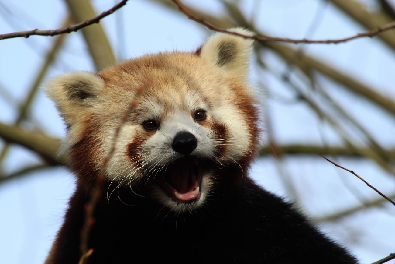 Animal Themes Animals In The Wild Close-up Day Focus On Foreground Mammal Nature No People One Animal Outdoors Red Panda Zoo