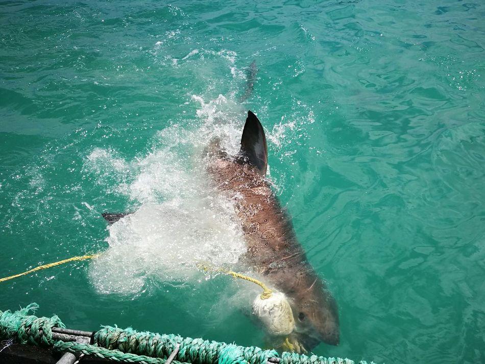 White Shark Water Sea Scuba Diving UnderSea Whiteshark White Shark Biting Shark Attack Sharkattack Shark Diving  Shark Diving