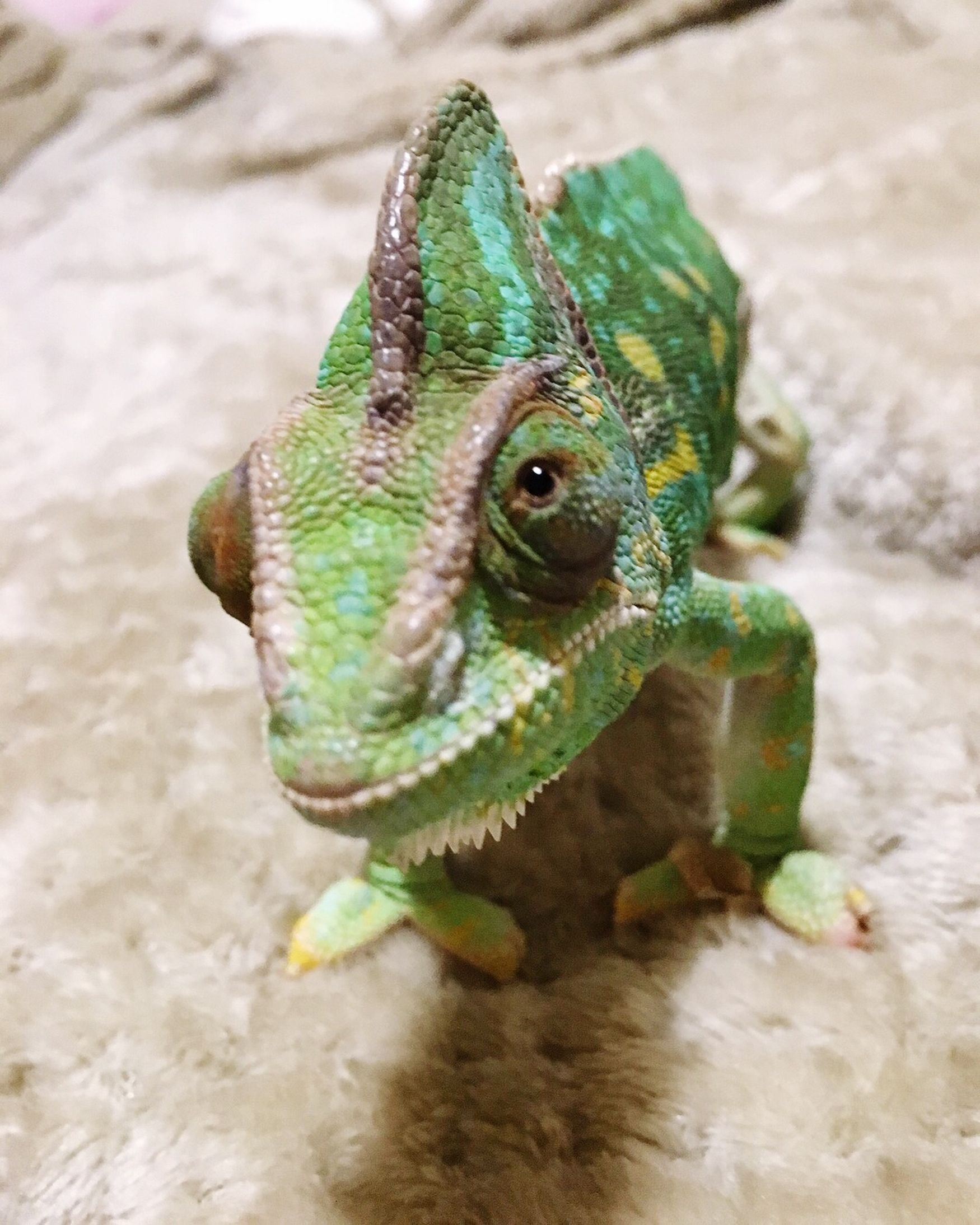 Chameleon Eye Green Color Reptile Animal Themes Close-up Chameleon Nature