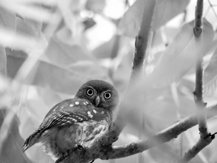 Animal Themes Backgrounds Beauty In Nature Birds Birds Of Prey Black And White Focus On Foreground Magazhu Nature No People Owl Pygmy Owl Selective Focus Showcase August Wildlife Yelapa