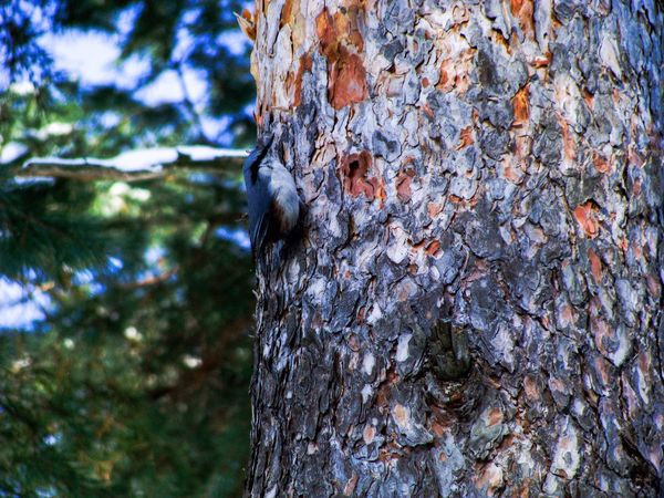 Tree Tree Trunk Nature Textured  Plant Bark Bark Rough Day Outdoors Growth No People Forest Beauty In Nature Tranquility Close-up Trunk Sky Woodpecker Animal Themes Knotted Wood