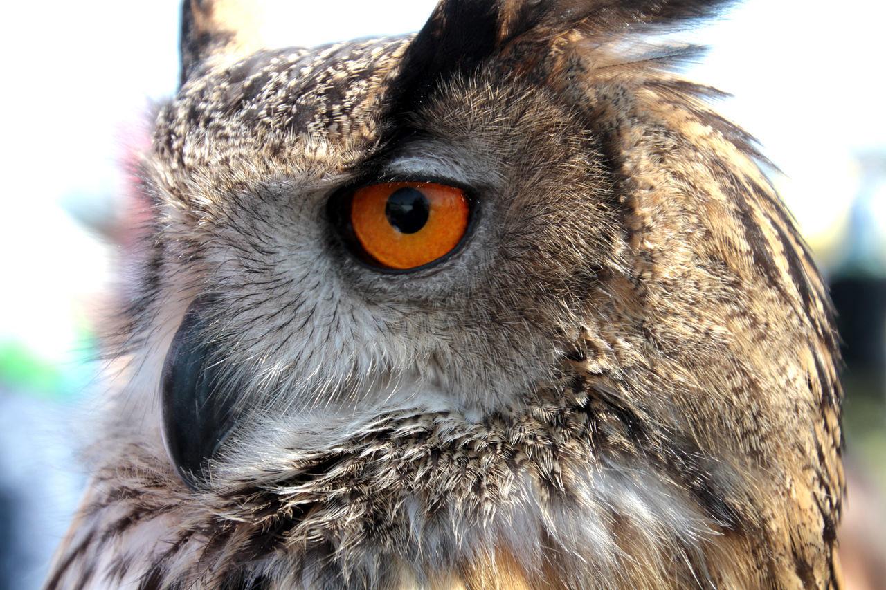 Beautiful stock photos of eule, Animal Themes, Animal Wildlife, Animals In The Wild, Bird Of Prey
