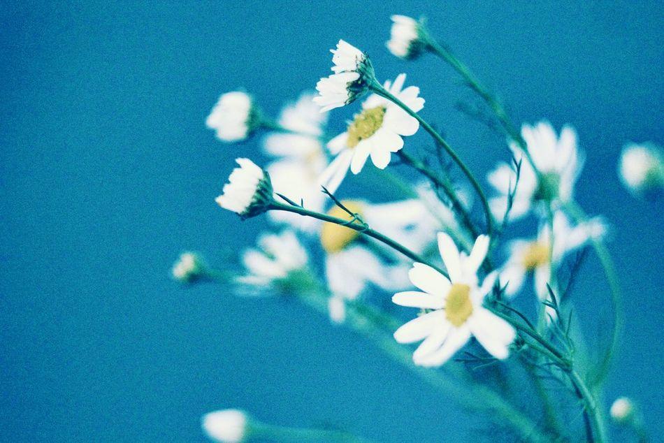 цветы Ромашки винтаж Природа Старина пленка шумы Green Plants Nature In The City Nature Plant Plants And Flowers White Yellow White Flower White Flowers