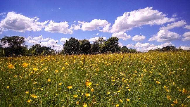 Landscape_photography Landscape Wild Flowers Yellow Sky Clouds Clouds And Sky Summer Hot Day Day Out Relaxing Day Dreaming A Lone Fieldscape Field Walk Lost Buttercup Nature's Diversities