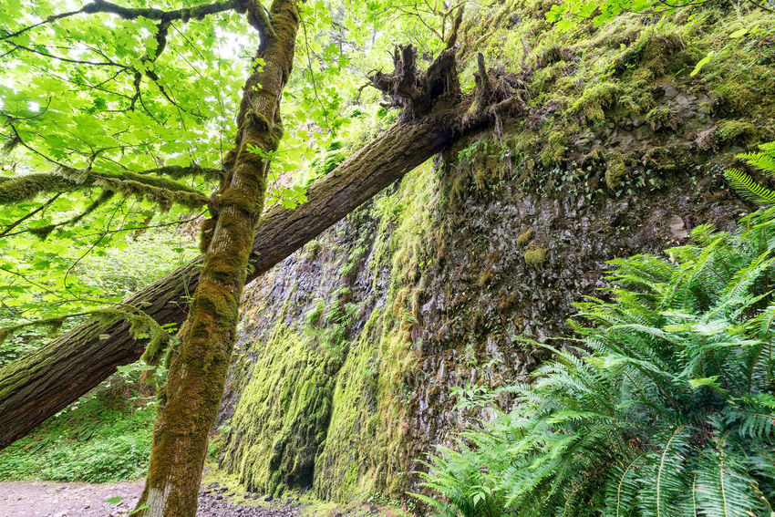 Fallen trees on a trail in the Columbia River Gorge in Oregon Branch Columbia Creek Environment Forest Green Horsetail Horsetail Falls Landscape Multnomah Natural Nature Oneonta Oregon Pacific Northwest  Portland Portland, OR River Rivergorge Scenery Stone Tree United States Water Waterfall