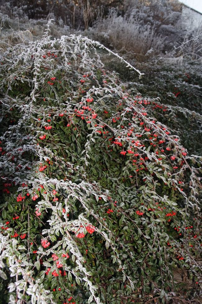 Snow Snow ❄ Ice Frosted Trees Frosted Landscapes Frosted Rose Hip Frosted Nature Branch Cold Temperature Bush Bough Cold