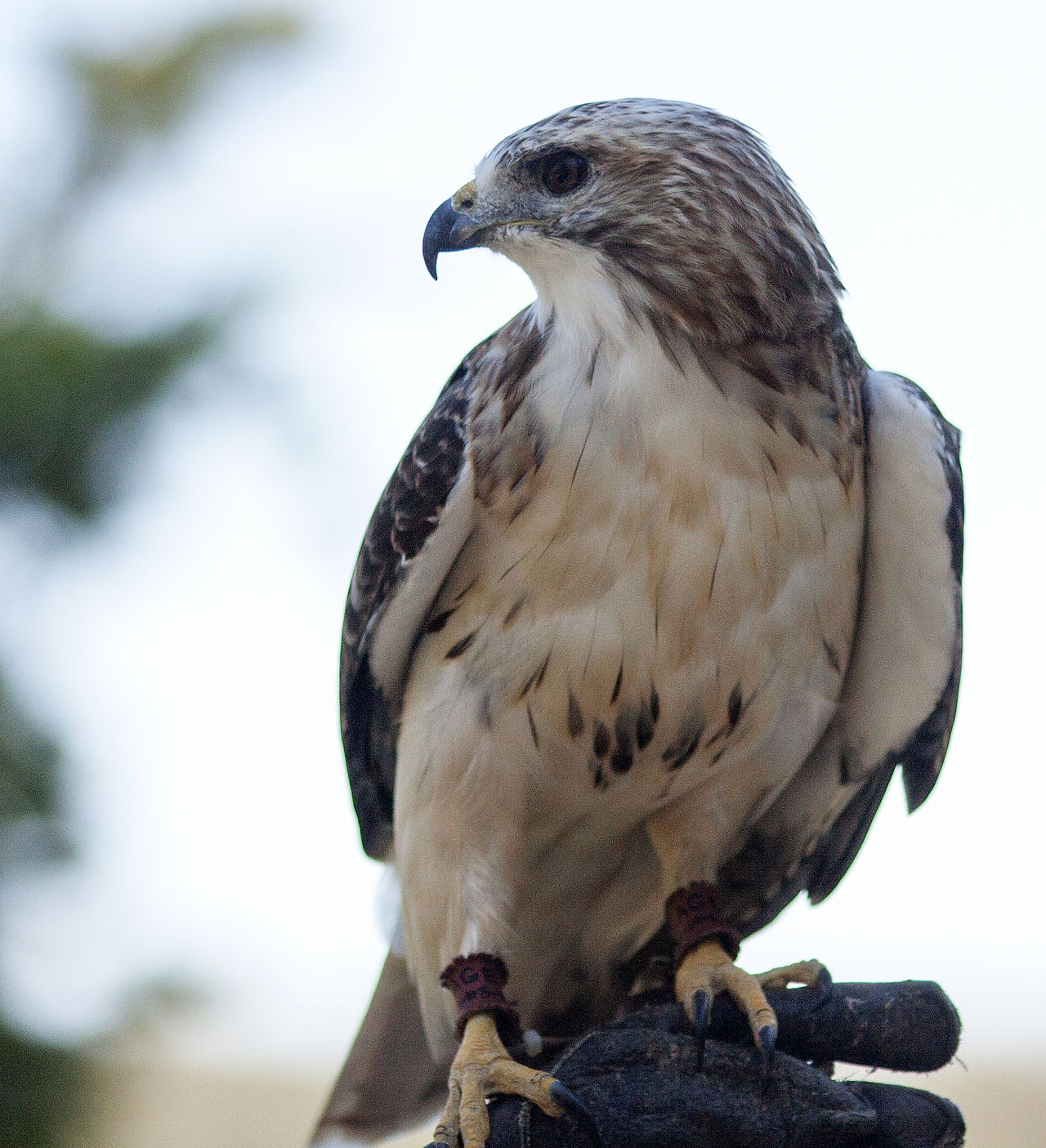 Animal Themes Animal Wildlife Animals In The Wild Bird Bird Of Prey Close-up Day Hawk Nature No People One Animal Outdoors Perching