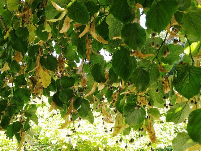 summer tree Tiglio Tree Tree_collection  Nature Nature_collection Nature Photography Tree_collection  Green Green Nature