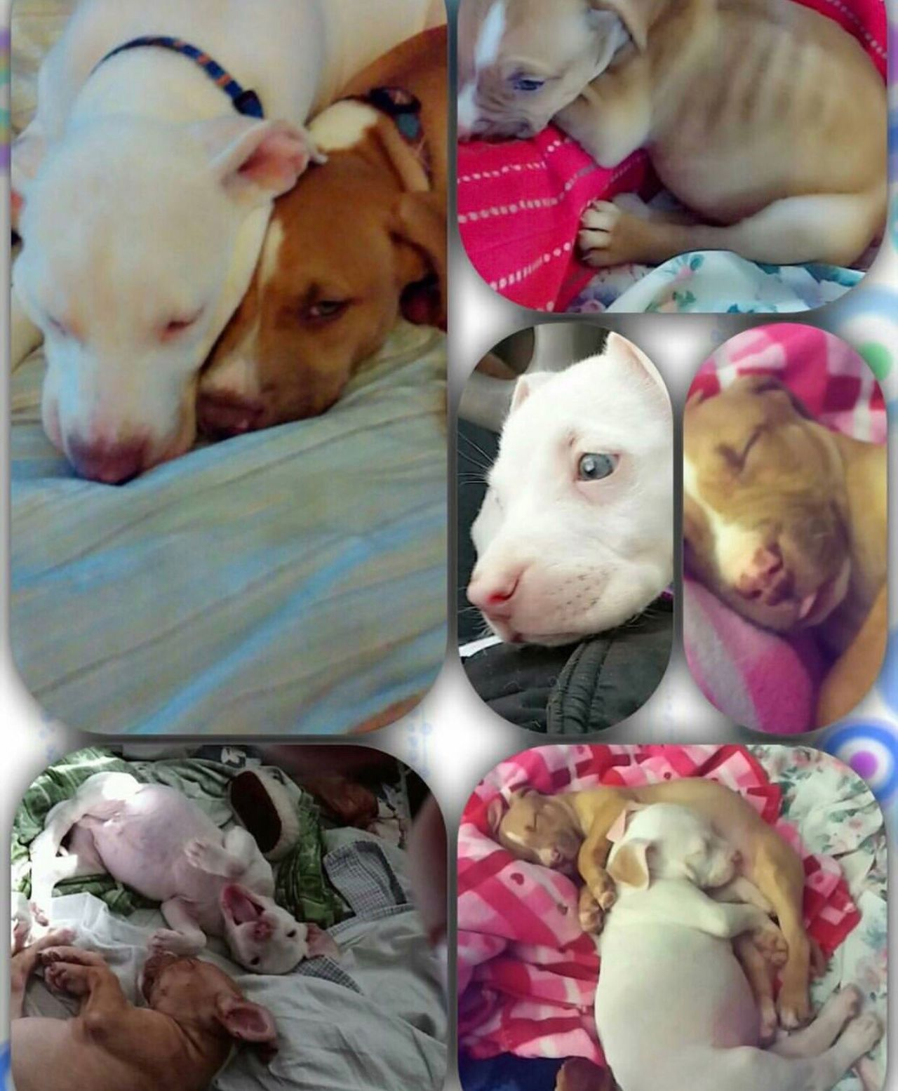 Familypet Brothers Rednose Pitbull Sammy♡ Blue💙 Dogs 🐩 Cuteness Loving Puppies 5weeksold