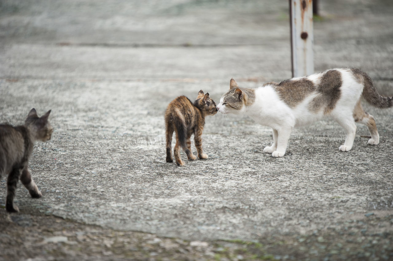 domestic cat, animal themes, feline, mammal, outdoors, day, no people, street, young animal, pets, domestic animals, kitten, nature