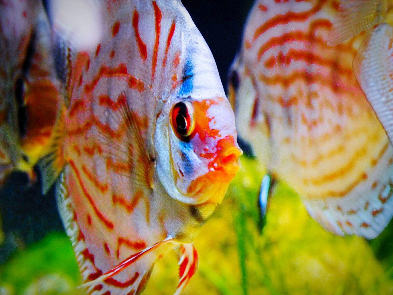 Aquarium Aquarium Life Aquariumfish Aquariumlife Aquarium Fish Aquarium! Aquariums Aquaristik Fish Fisch Fische Discus Fish Discusfish