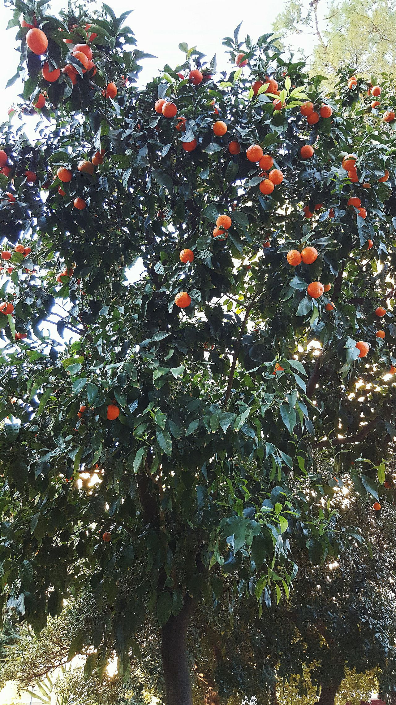 Tree Fruit Tree Fruit Orange Nature Growth Branch Full Frame Freshness Day Clear Sky Sky Nature No People Colour Of Life EyeEm Premium Collection Sevilla Spain